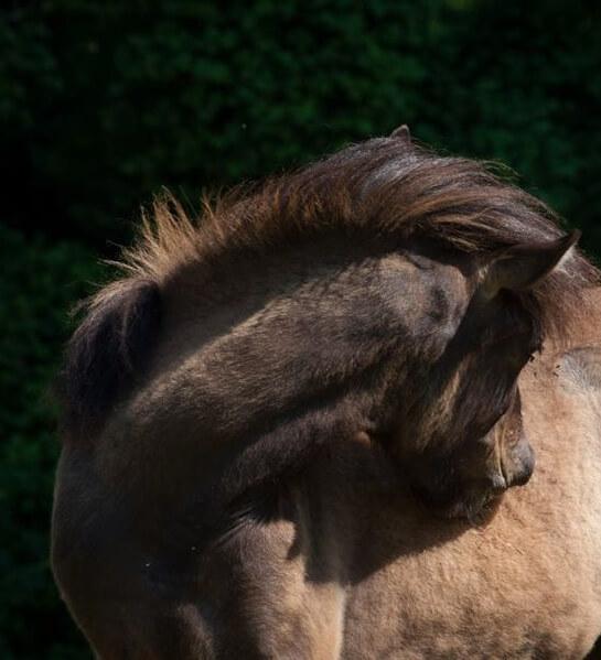 Biegung – oder die Haupteigenschaft des guten Reitpferdes!
